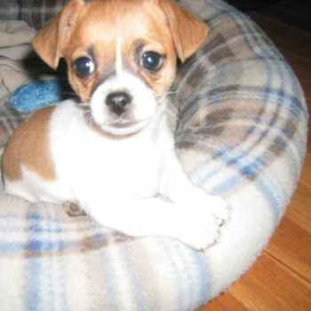 Jack Russell Cross Chihuahua Health Problems