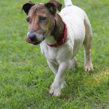 Jack Russell For Adoption Near Me