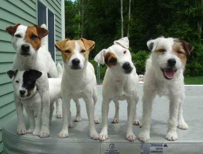 Jack Russell Kennel