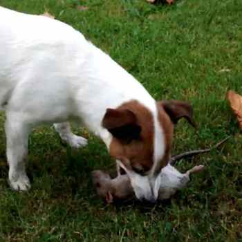 Jack Russell Killing Rats