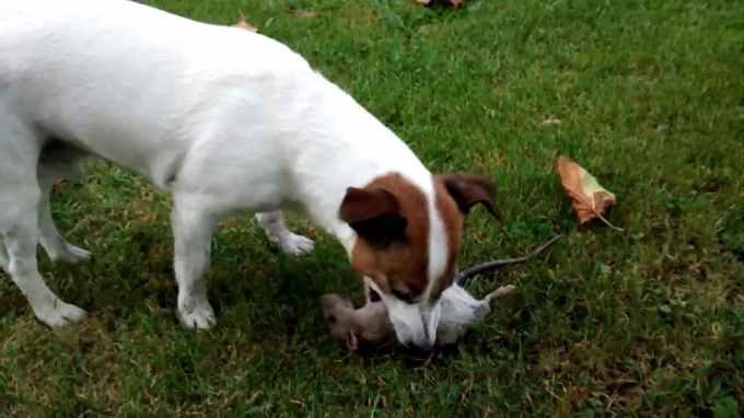 Jack Russell Killing Rats