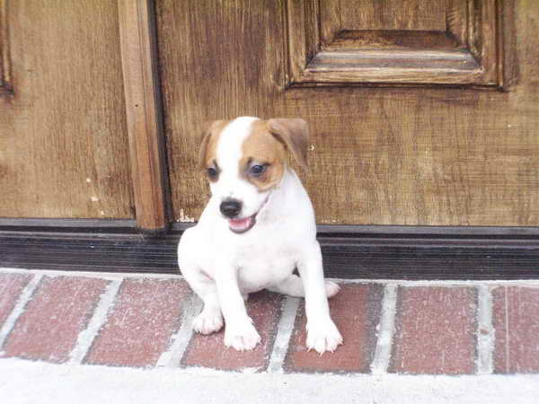 Jack Russell Puppies For Sale Craigslist