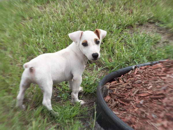 Jack Russell Puppies For Sale In Ca