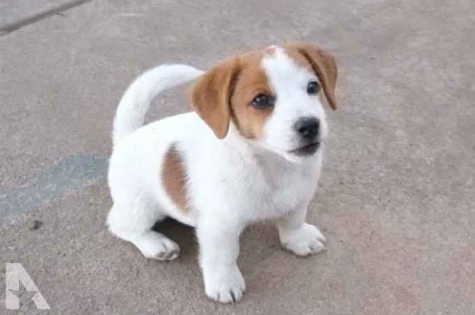 Jack Russell Puppies For Sale In San Antonio Texas
