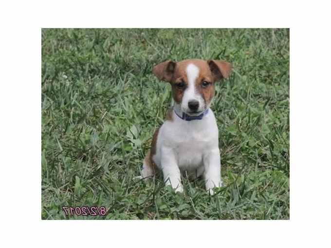 Jack Russell Puppies Kansas City