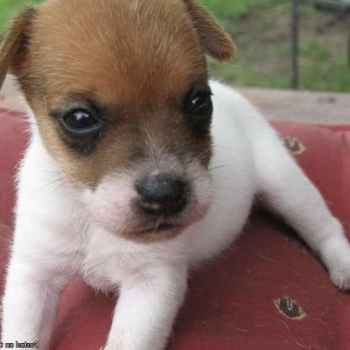 Jack Russell Puppies Miami