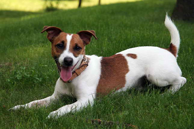 Jack Russell Puppies Rescue