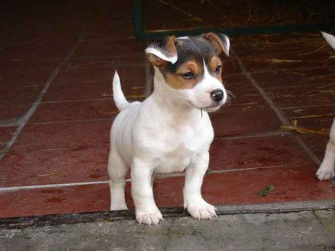 Jack Russell Puppies Tampa