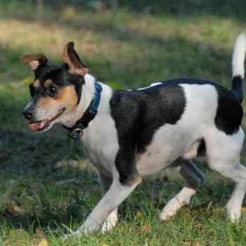 Jack Russell Rat Terrier Mix