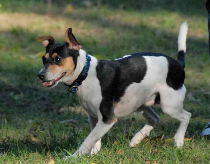 Jack Russell Rat Terriers