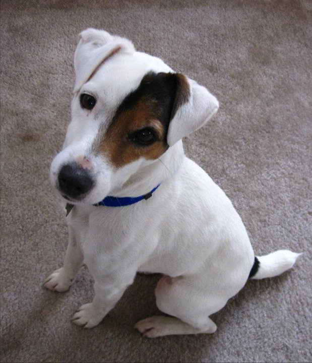 Jack Russell Rescue Ca