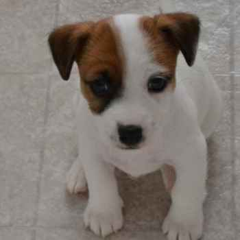 Jack Russell Rescue Michigan