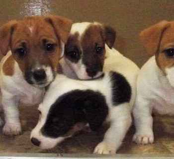 Jack Russell Rescue Ny