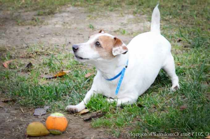 Jack Russell Rescue San Diego