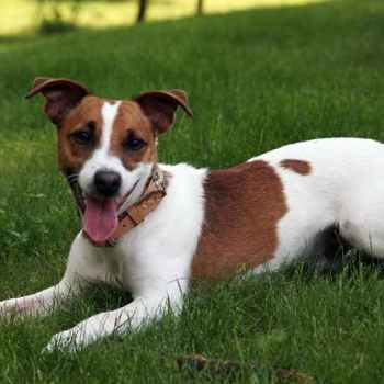 Jack Russell Terrier Adopt