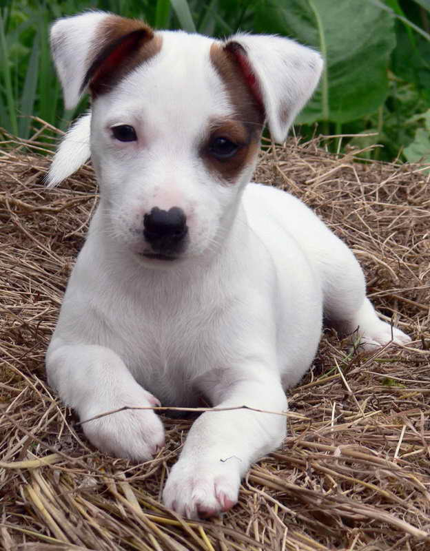 Jack Russell Terrier Adoption