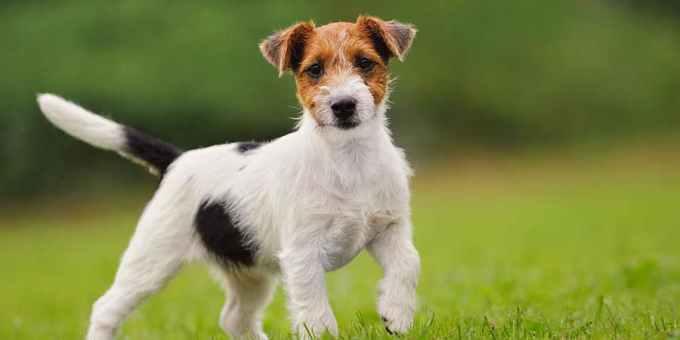 Jack Russell Terrier Allergies