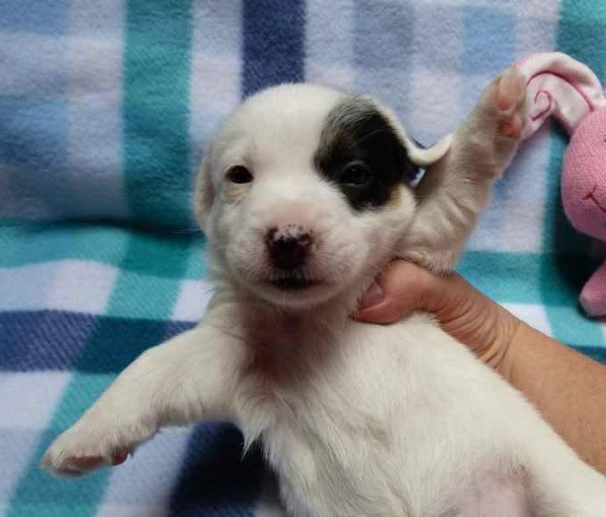 Jack Russell Terrier Az