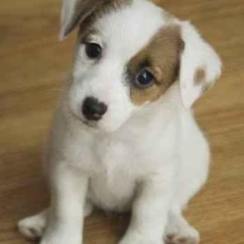 Jack Russell Terrier Babies