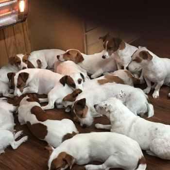 Jack Russell Terrier Breeders Florida