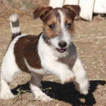Jack Russell Terrier Breeders In California