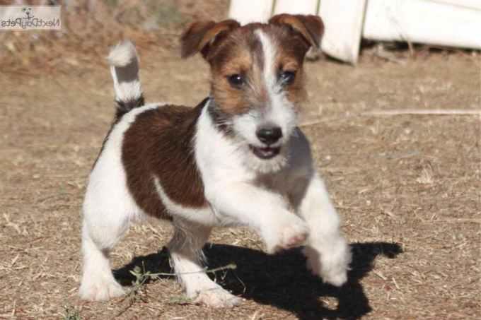 Jack Russell Terrier Breeders In California