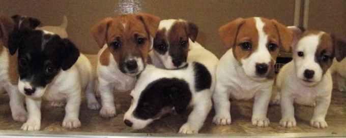 Jack Russell Terrier Breeders Indiana