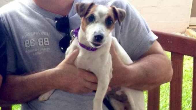 Jack Russell Terrier For Sale Craigslist