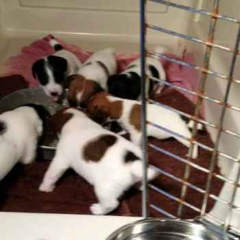 Jack Russell Terrier For Sale Houston