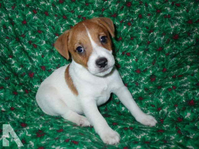 Jack Russell Terrier For Sale In Texas
