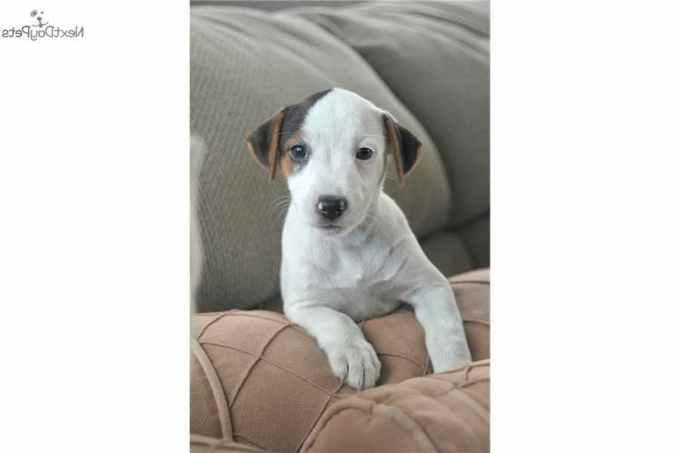 Jack Russell Terrier Los Angeles