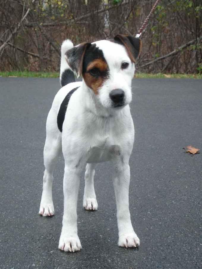 Jack Russell Terrier Massachusetts