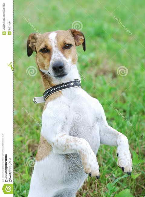 Jack Russell Terrier Precio
