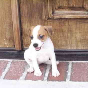 Jack Russell Terrier Puppies Arkansas