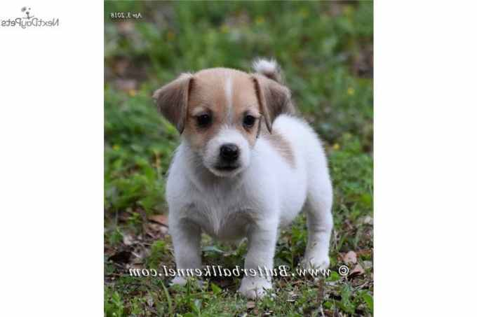 Jack Russell Terrier Puppies Florida