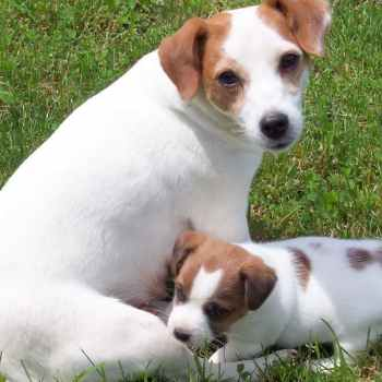Jack Russell Terrier Puppies For Sale In Indiana
