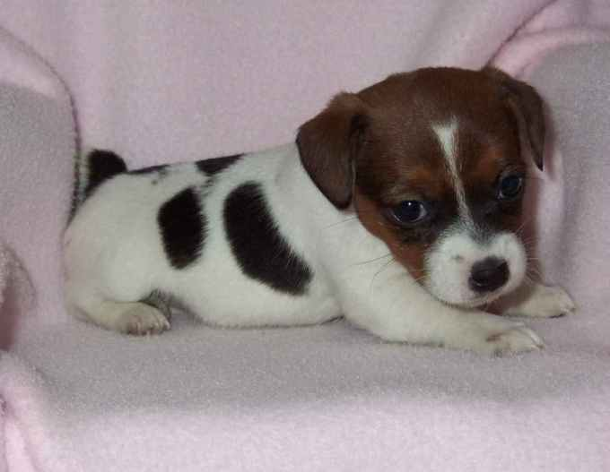Jack Russell Terrier Puppies For Sale In Nc
