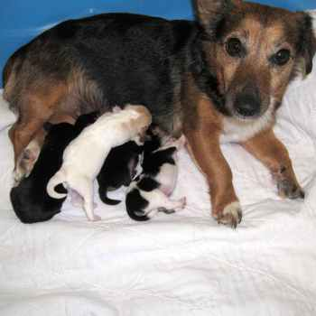 Jack Russell Terrier Puppies For Sale In Ny