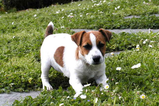Jack Russell Terrier Puppies For Sale In Oregon