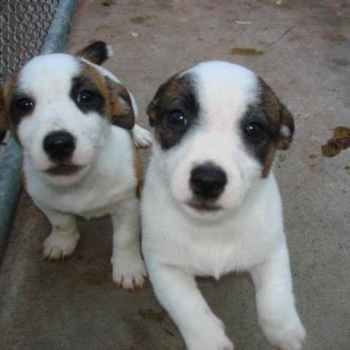 Jack Russell Terrier Puppies For Sale In Wisconsin