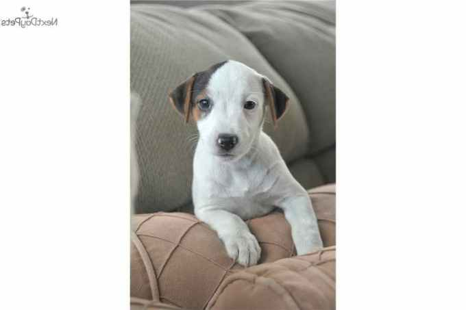 Jack Russell Terrier Puppies For Sale Los Angeles