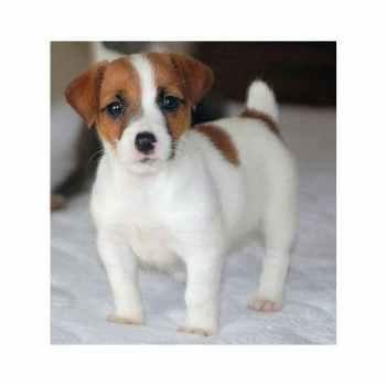 Jack Russell Terrier Puppies Va