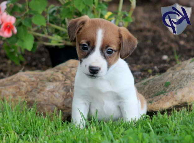 Jack Russell Terrier Puppy Mix