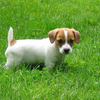 Jack Russell Terrier Puppys
