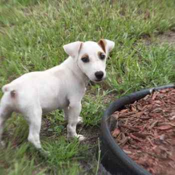 Jack Russell Terrier Rescue Sacramento
