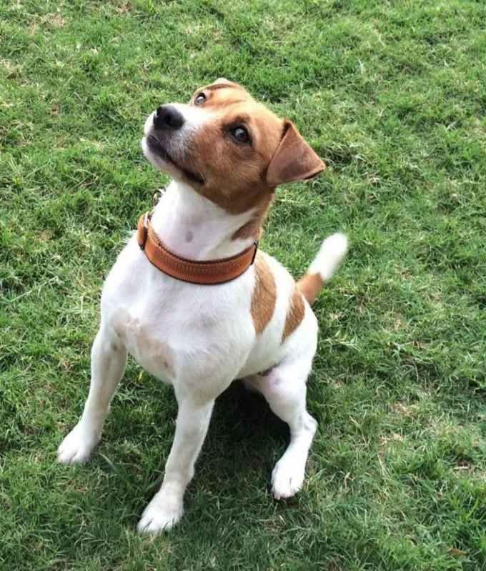 Jack Russell Terrier Rescue San Antonio