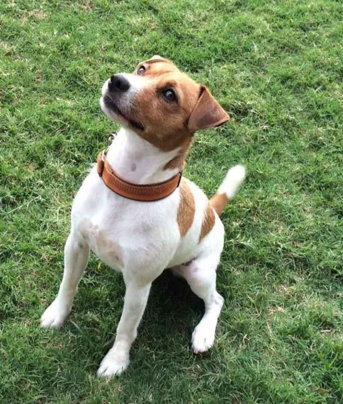 Jack Russell Terrier Rescue Texas
