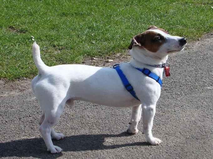Jack Russell Terrier Temperament Stubborn