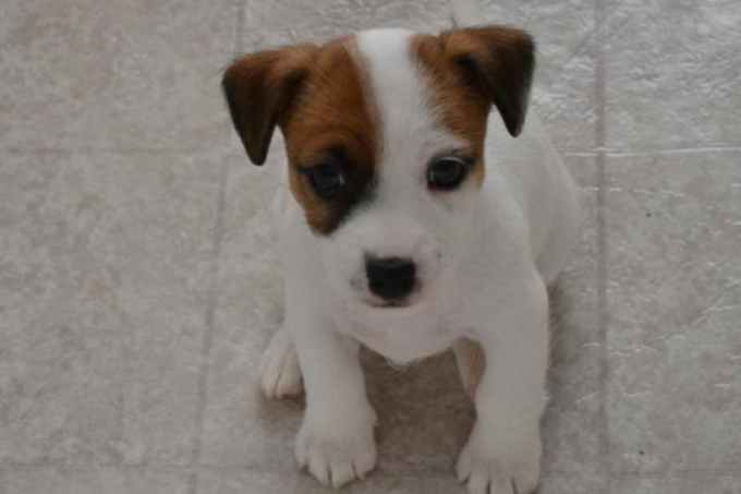 Jack Russell Terriers For Sale In Nc