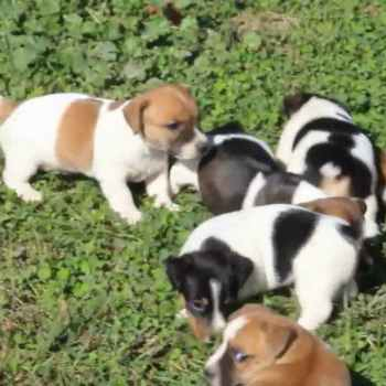Jack Russell Terriers For Sale In Oregon
